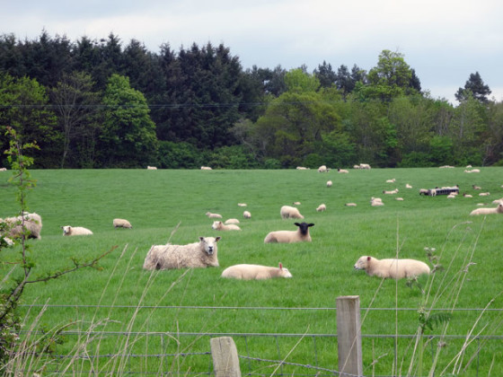 Walk-sheep-560x420
