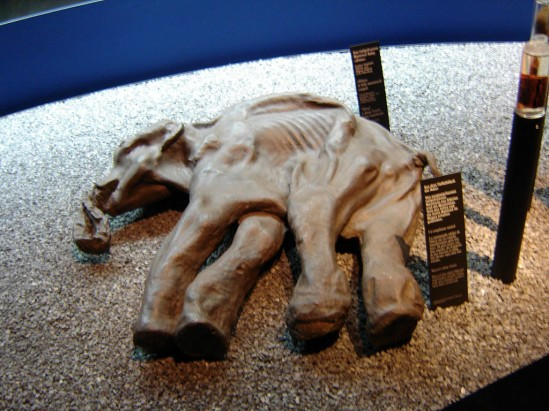 It's highly possible that this mammoth died on purpose.